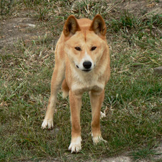 Dingo (Photo: Michael Parsons)