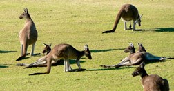 Kangaroos are commonly killed to save crops and private property (Photo: Michael Parsons)