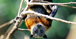 Grey-headed flying foxes have been causing massive damage to the botanic gardens (Photo: Grahame McConnell)
