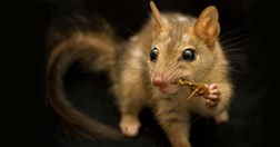 Northern quoll with cane toad (Photo: Jonathan Webb)