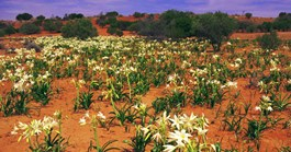 Daisies in the Simpson Desert (Photo: Mitch Reardon)