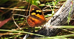 Common brown butterfly (Photo: Dr. Paul Sunnucks)