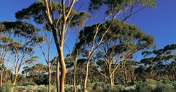 Salmon gums near Kalgoorlie (Photo: Bill Bachman)
