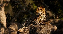A Sri Lankan leopard (<em>Panthera pardus</em>) in Yala National Park. (Credit: Getty)