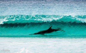 Images of Australia: Surfing dolphin, Cape Le Grand NP, Western Australia