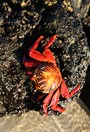 Beautiful sally lighfoot crabs shine on the Floreana Island shallows. (Photo: Ian Connellan)
