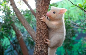 Bailey is the latest baby golden brushtail possum to go on show in Sydney.