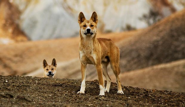 Research into the importance of dingoes to Australian ecosystems has been awarded a Eureka prize. (Credit: Getty)