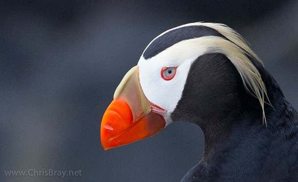 A tufted puffin photographed from afar by Chris Bray. (Credit: Chris Bray)