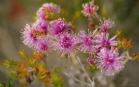 Flowering melaleuca, South Coast Track, Tasmania