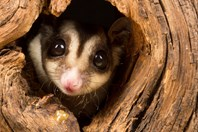 Hundreds of species of marsupial, such as this sugar glider are vying for conservation dollars across Australia. (Credit: Getty)