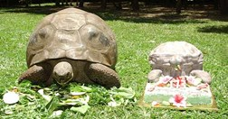 Harriet on her 173rd birthday. (Credit: Courtesy of Australia Zoo)