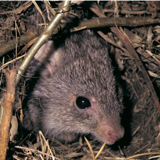 The rufous bettong belongs to the same family as the potoroo. (Credit: Jiri Lochman)