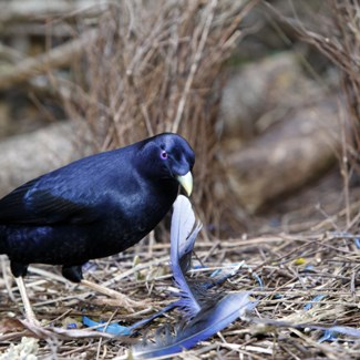 Male satin bowerbirds build elaborate 'avenue bowers' in which to perform for females. (Credit: Getty)
