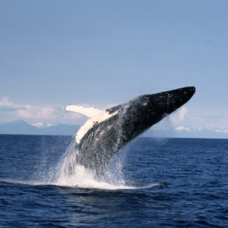 Scientists believe whales may breach for a variety of different reasons. (Credit: Getty Images)