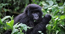 And endangered gorilla, helped by initiatives on World Environment Day (Credit: Roberto Schmidt, AFP/Getty)