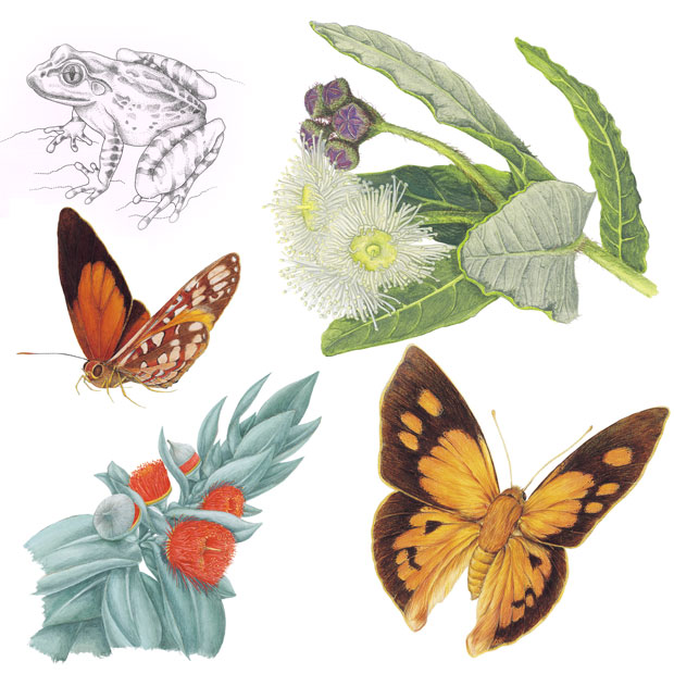 Australian Wildlife Drawings Natural History Art