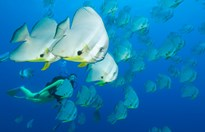 Diving with bat fish at Christmas Island