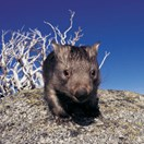 Common wombat (Photo: Mitch Reardon)