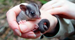 There may be fewer than 1500 Leadbeater's possums life in the wild.