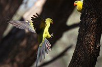 A brilliantly feathered regent parrot comes in to land.