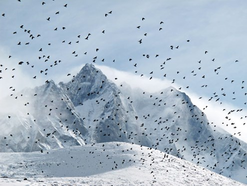 Flock of choughs wheels near camp at Bibre; Lhotse in background (Photo: Ian Connellan)