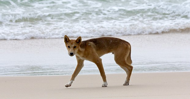 Some scientists consider dingoes as introduced, as humans brought them to Australia. (Credit: Andrew Gregory)
