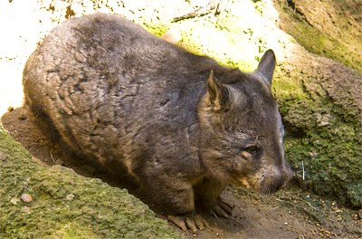 Southern hairy-nosed wombat (Photo: Jason Pratt)