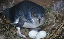 Fairy penguin in a nest box. (Credit: Mike Rossi)