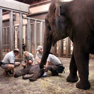 Birth of a calf to elephant Porntip (Photo: Taronga Zoo)