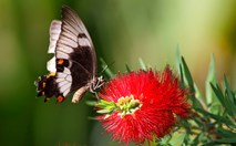 The Australian orchard swallowtail butterfly feeds on a Callistemon tree. (Credit: Leo Berzins)