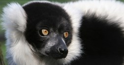 Madagascar's Black and white ruffed lemur is on the EDGE list. (Photo: Tomalin/Wildviews)