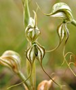 The robust greenhood (<em>Pterostylis valida</em>) has been re-discovered in Victoria. (Photo: Bush Heritage Australia)