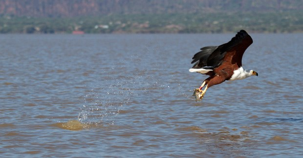 An African fish eagle claims his breakfast. (Photo: Amy Russell)