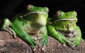 Images of Australia: White-lipped tree frogs