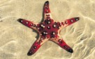 Images of Australia: Chocolate chip starfish, <em>Protoreaster nodosus</em>