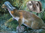 A giant carnivorous platypus fossil bearing teeth (inset) has been discovered in Queensland. (Credit: Peter Schouten)
