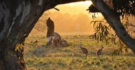 Kangaroos at dusk. (Credit: Rick Keating)