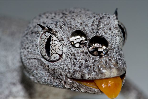 AG reader photo: Northern spiny-tailed gecko