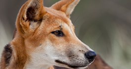 The dingo's reputation varies, but they may not have killed off mainland thylacines and Tasmanian devils. (Credit: Getty)