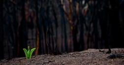 A cycad draws on underground reserves and re-sprouts after the bushfires. (Credit: Josh Smith)
