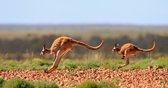 Red kangaroos. (Credit: Getty Images)