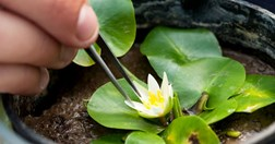 World's smallest waterlily (<em>Nymphaea thermarum</em>), Kew Botanic Gardens