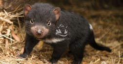 Photo: Tourism Tasmania & Bonorong Wildlife Sanctuary/Sarcophilus Harrisii
