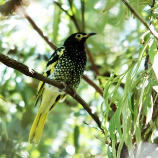 Regent honeyeaters (Photo: Taronga Zoo)