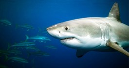 Great White Shark (Photo: Getty Images)