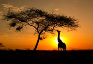 Giraffe against African sunrise