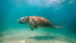 See the elusive dugongs of Moreton Bay in action.