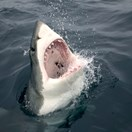 Great white shark getty images