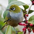 Silvereye (Zosterops lateralis) (Photo: Wikimedia Commons)